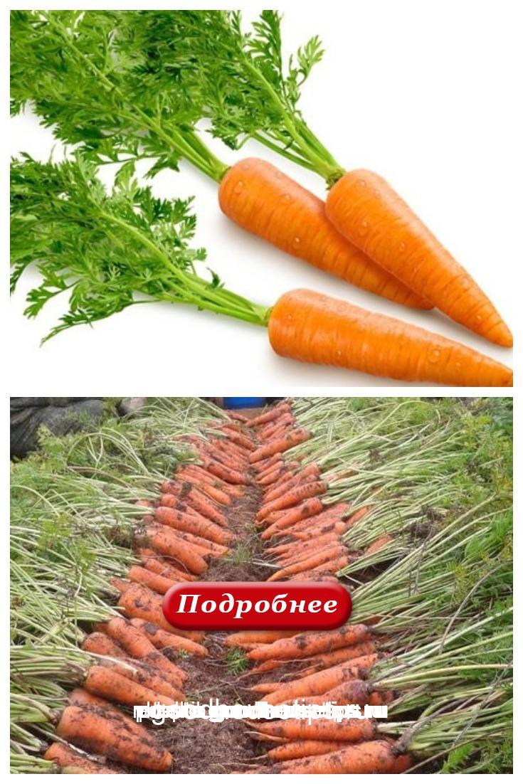 Полезные хитрости по выращиванию морковки