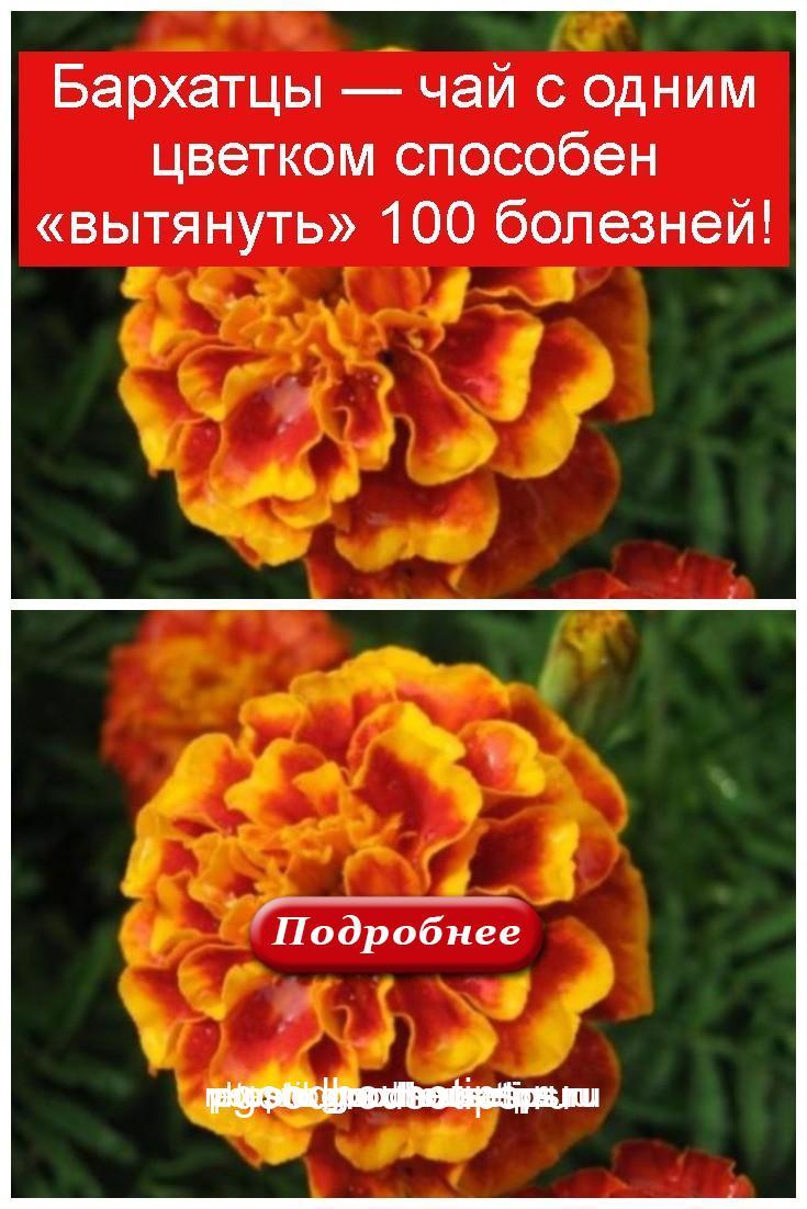 Бархатцы — чай с одним цветком способен «вытянуть» 100 болезней 4