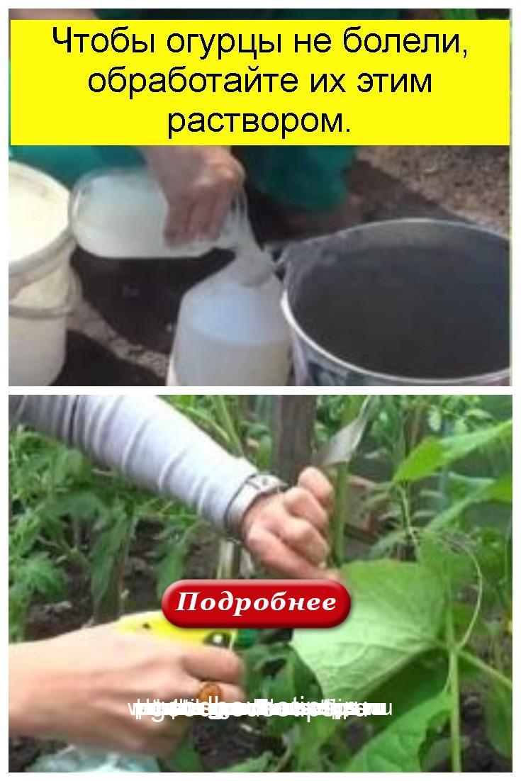 Чтобы огурцы не болели, обработайте их этим раствором 4