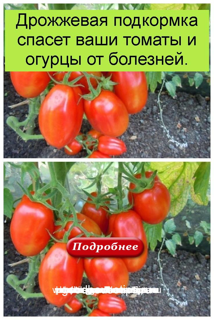 Дрожжевая подкормка спасет ваши томаты и огурцы от болезней 4