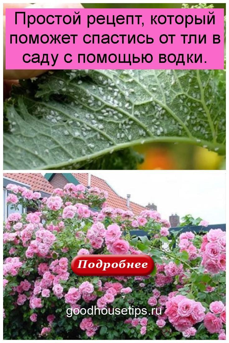Простой рецепт, который поможет спастись от тли в саду с помощью водки 4