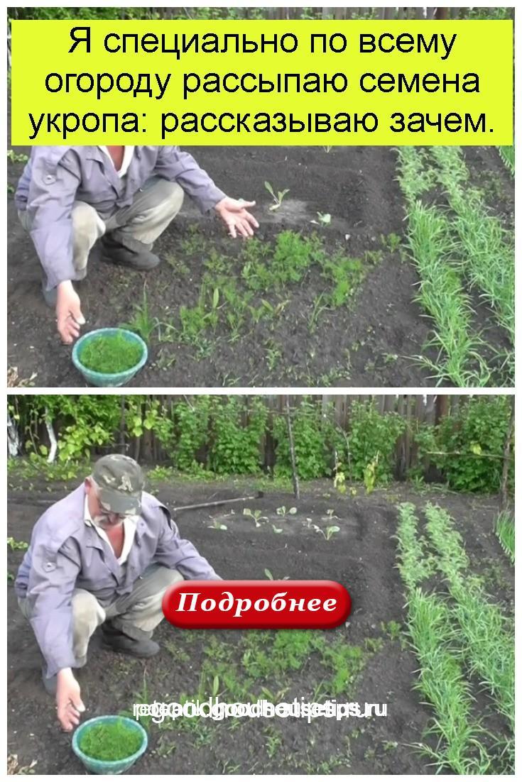 Я специально по всему огороду рассыпаю семена укропа: рассказываю зачем 4