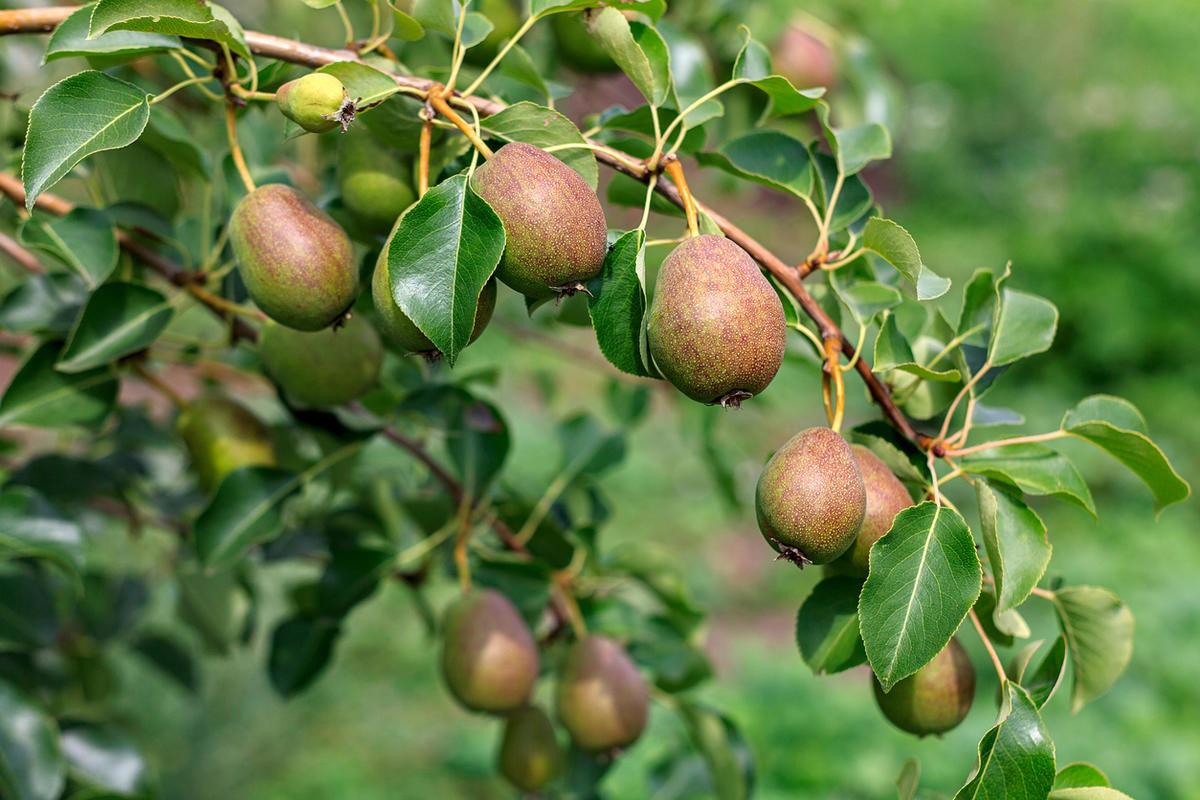 ripening-ripe-beautiful-juicy-fruit-pears-on-a-branch