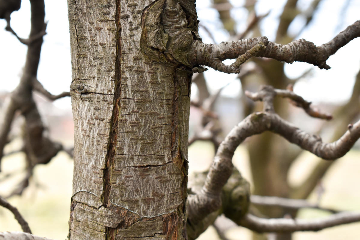 pear-tree-trunk-close-up