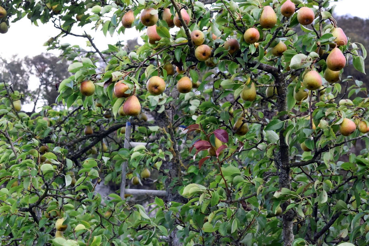 the-harvest-of-pears-ripe-pears-hang-on-a-tree-a-ladder-stands-near-a-pear-tree