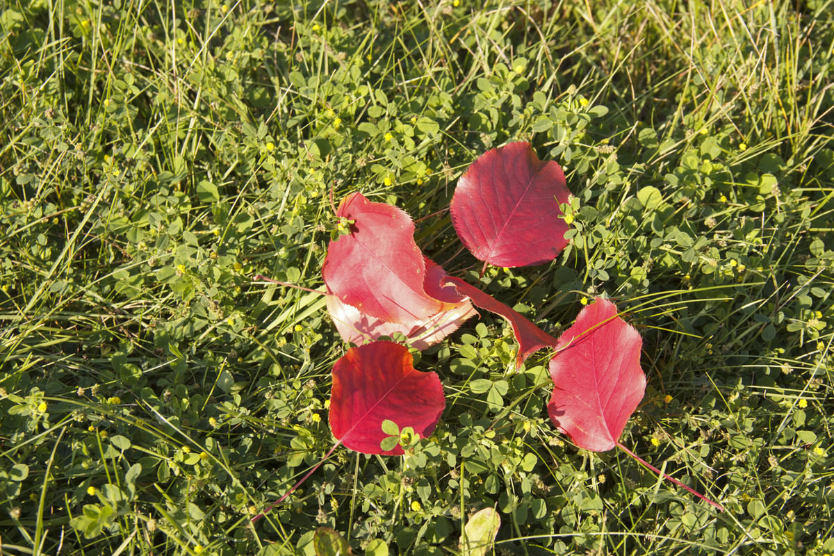 pear-leaves-are-painted-in-autumn-colors-red-leaves-on-green-grass