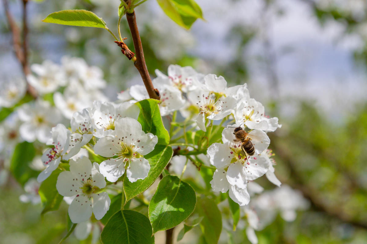 bee-collects-nectar-from-white-flowers-of-pear-tree-in-late-spring