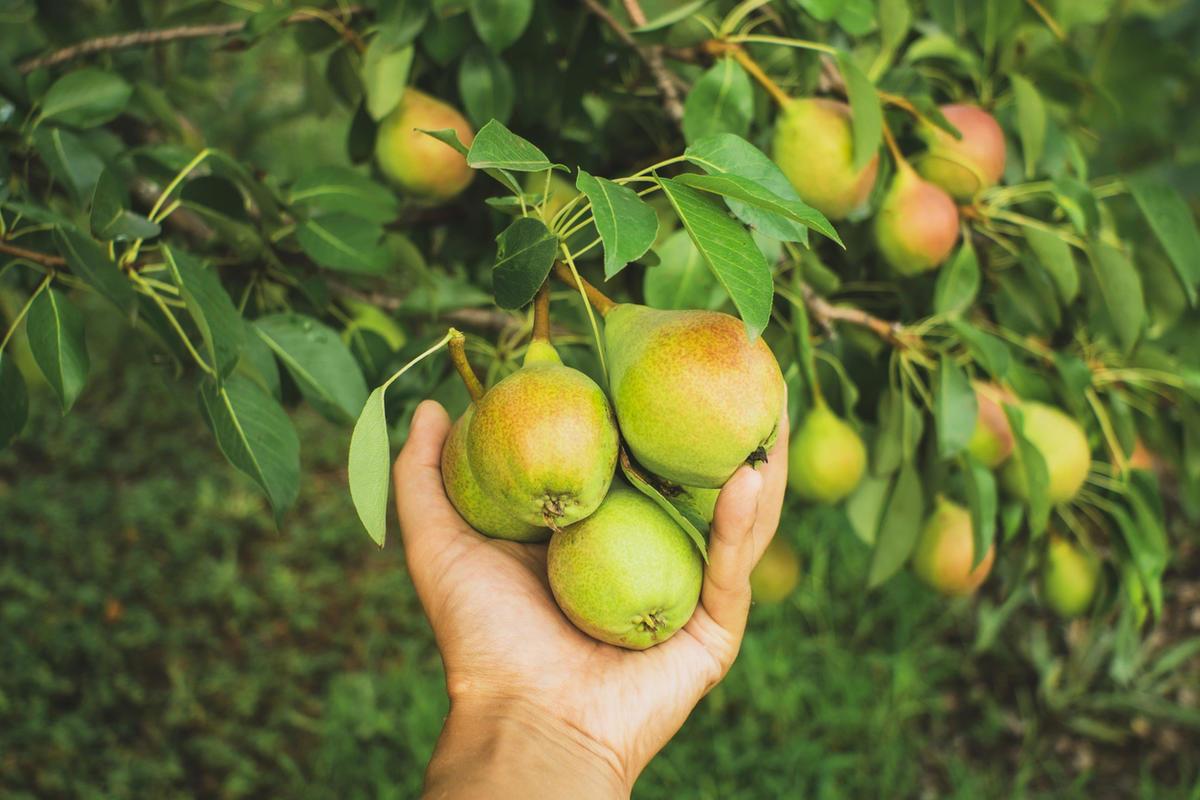ripe-pears-on-the-tree-fruit-harvest