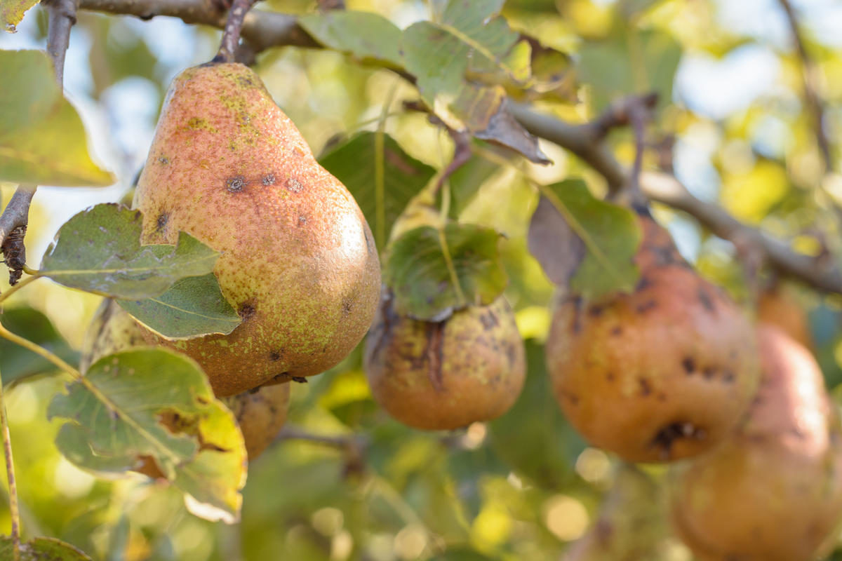 disease-of-the-pear-tree-scabies-on-the-pears