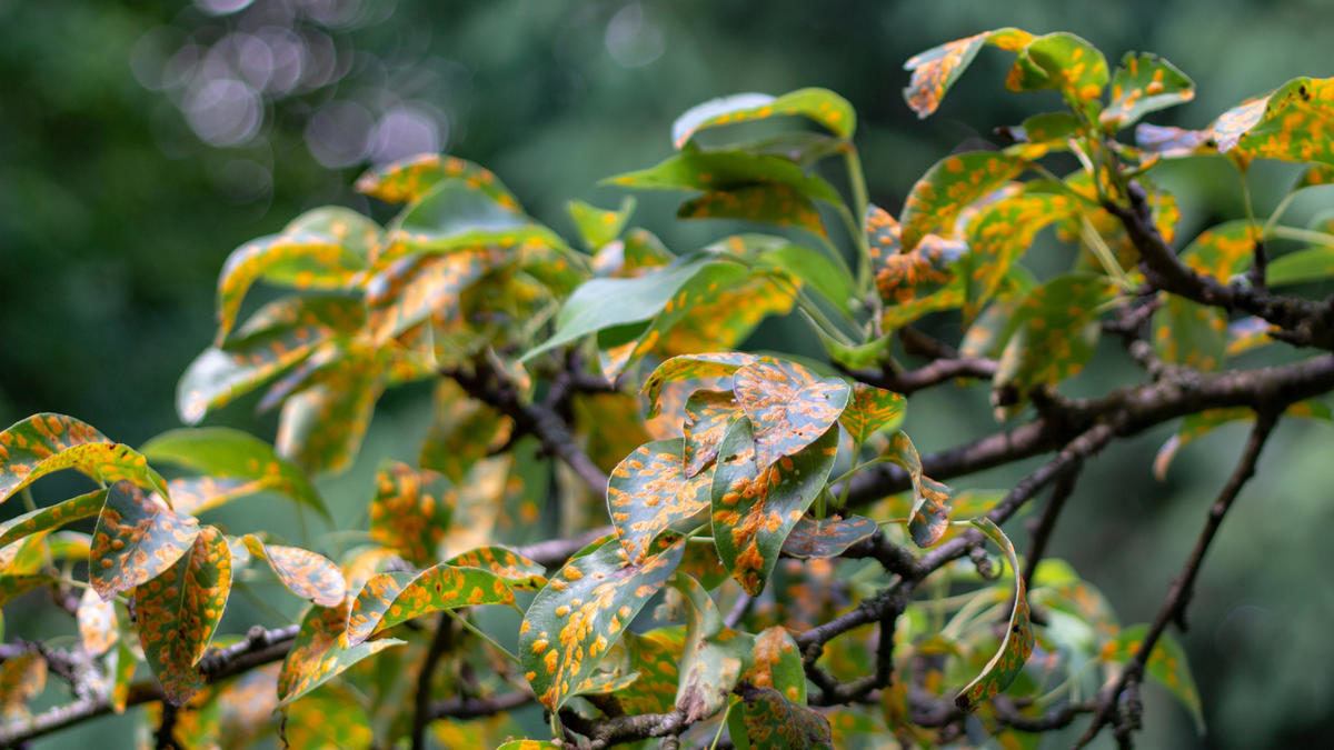 pucciniales-rust-on-pear-leaves-dangerous-disease-that-can-destroy-the-entire-garden