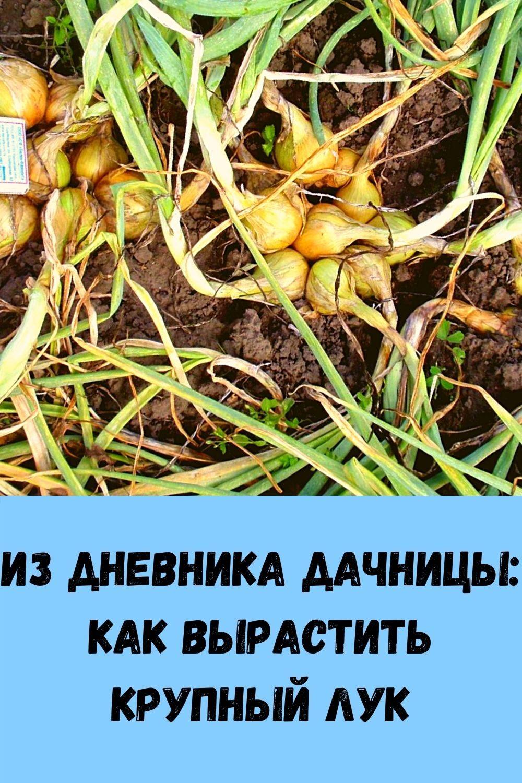 iz-dnevnika-dachnitsy_-kak-vyrastit-krupnyy-luk
