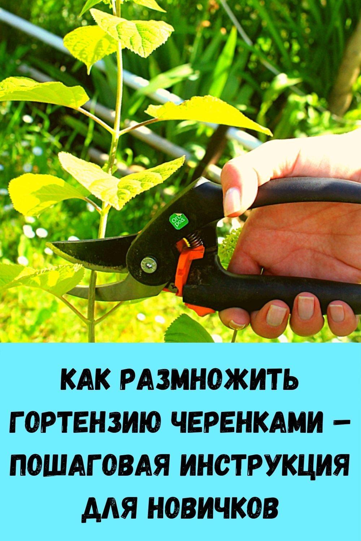 kak-razmnozhit-gortenziyu-cherenkami-poshagovaya-instruktsiya-dlya-novichkov-2