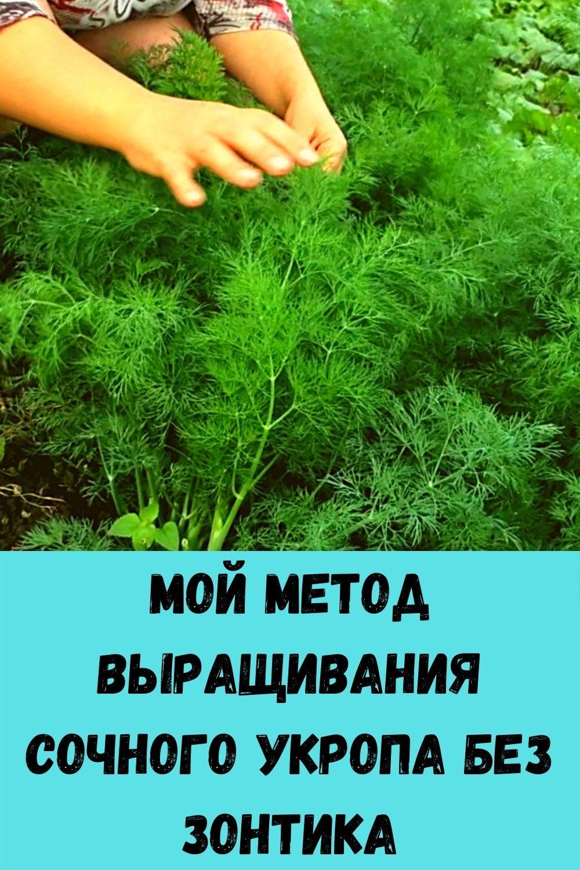 moy-metod-vyraschivaniya-sochnogo-ukropa-bez-zontika-2