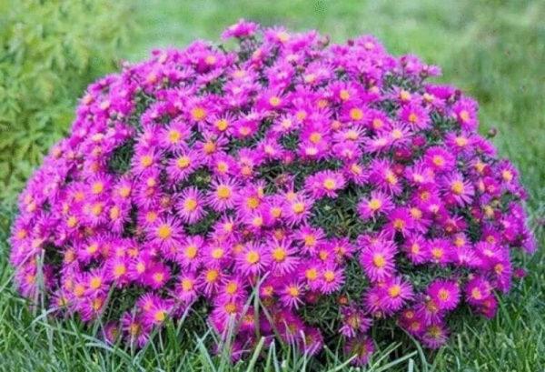 nizkoroslye-cvety-dlja-klumby-kotorye-budut-cvesti-vse-leto-2e6ce94