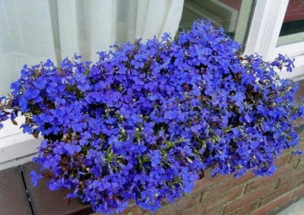 nizkoroslye-cvety-dlja-klumby-kotorye-budut-cvesti-vse-leto-419d7f3