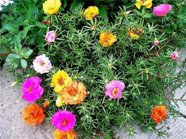 nizkoroslye-cvety-dlja-klumby-kotorye-budut-cvesti-vse-leto-5f2ae42