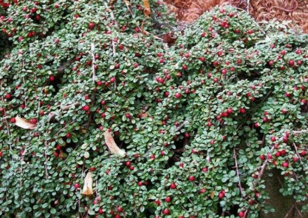nizkoroslye-cvety-dlja-klumby-kotorye-budut-cvesti-vse-leto-92cd496