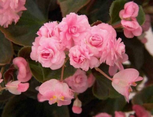 nizkoroslye-cvety-dlja-klumby-kotorye-budut-cvesti-vse-leto-9da18a9
