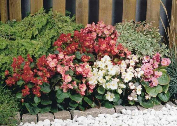 nizkoroslye-cvety-dlja-klumby-kotorye-budut-cvesti-vse-leto-a5c7a5f