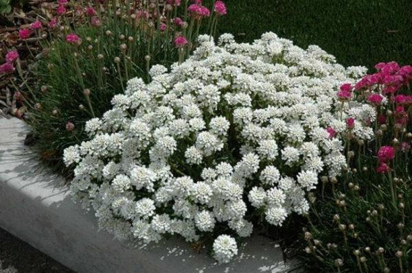 nizkoroslye-cvety-dlja-klumby-kotorye-budut-cvesti-vse-leto-b498184