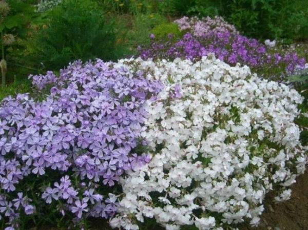 nizkoroslye-cvety-dlja-klumby-kotorye-budut-cvesti-vse-leto-b864c67