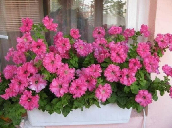 nizkoroslye-cvety-dlja-klumby-kotorye-budut-cvesti-vse-leto-e6672a8
