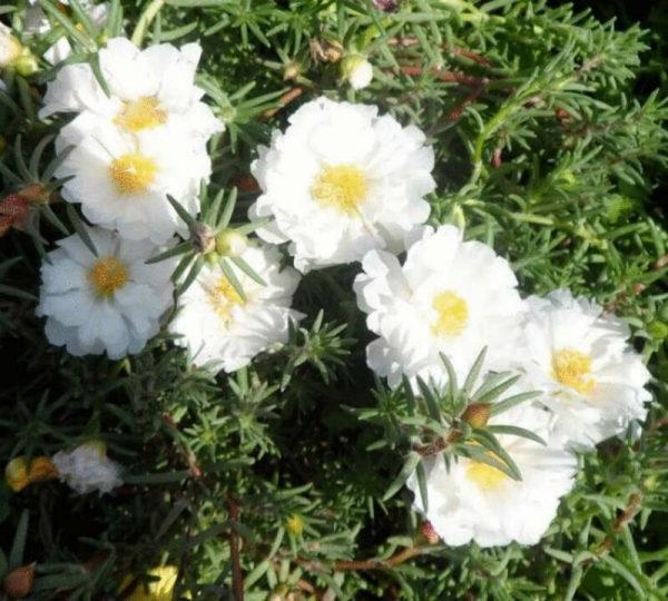 nizkoroslye-cvety-dlja-klumby-kotorye-budut-cvesti-vse-leto-e744b10
