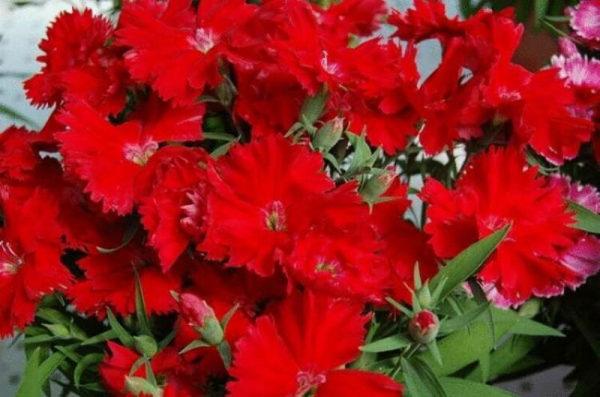 nizkoroslye-cvety-dlja-klumby-kotorye-budut-cvesti-vse-leto-fc0b4c8