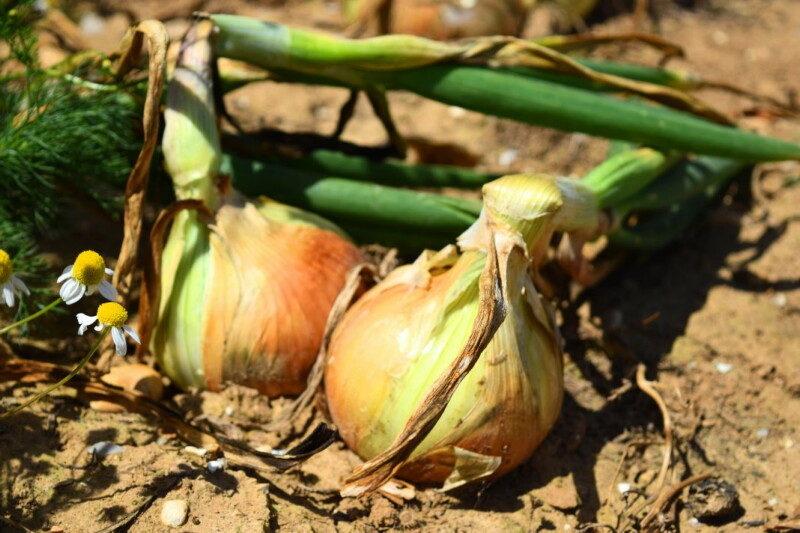 onions-2-1