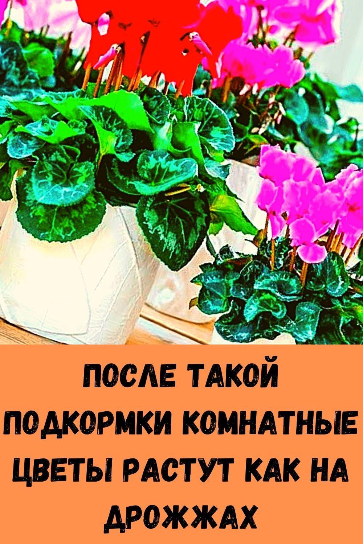 posle-takoy-podkormki-komnatnye-tsvety-rastut-kak-na-drozhzhah-2